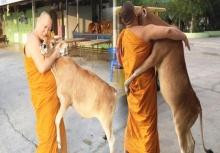 สุดประทับใจ!!ลูกวัวกำพร้าโผเข้ากอดพระ พอได้รู้เหตุผลยิ่งซึ้งใจ!!!