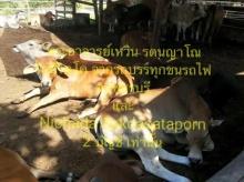 จากอุบัติเหตุ รถพ่วงขนวัวชนรถไฟ ชาวเน็ตร่วมกันไถ่ชีวิต 17 ตัว